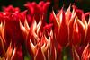 20100412_Tulips 2010_0293