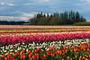 20100412_Tulips 2010_0320