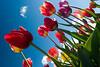 20100412_Tulips 2010_0063