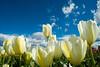 20100412_Tulips 2010_0108