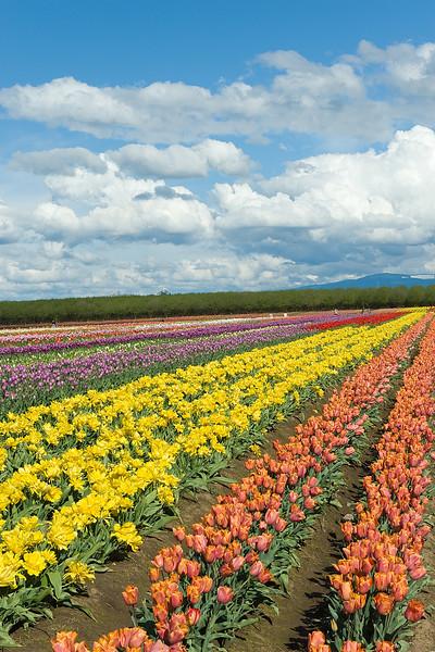 20100412_Tulips 2010_0164