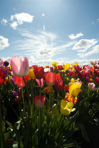 20100412_Tulips 2010_0021