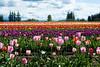 20100412_Tulips 2010_0151