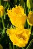 20100412_Tulips 2010_0247