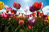20100412_Tulips 2010_0012