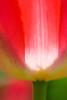 20100415_Tulips 2010 2_0640