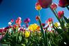 20100412_Tulips 2010_0040