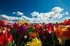 20100412_Tulips 2010_0050