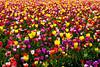20100412_Tulips 2010_0030