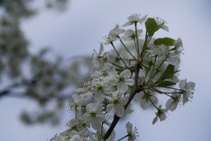 Bradford Pear tree in full bloom...