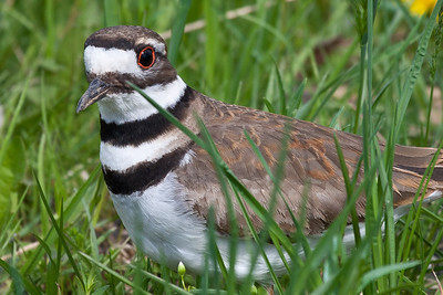 killdeer 5-14-2011-2613