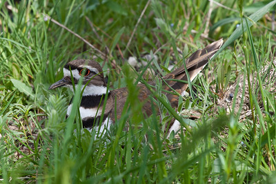 killdeer 5-14-2011-2609