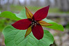 Early Spring, Trillium, Canaan Mountain