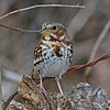 Fox Sparrow in my yard- Boone Co- 03-16-12