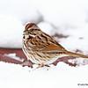 Song Sparrow 4/12/13
