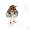 Fox Sparrow on the snow in Rosemount MN
