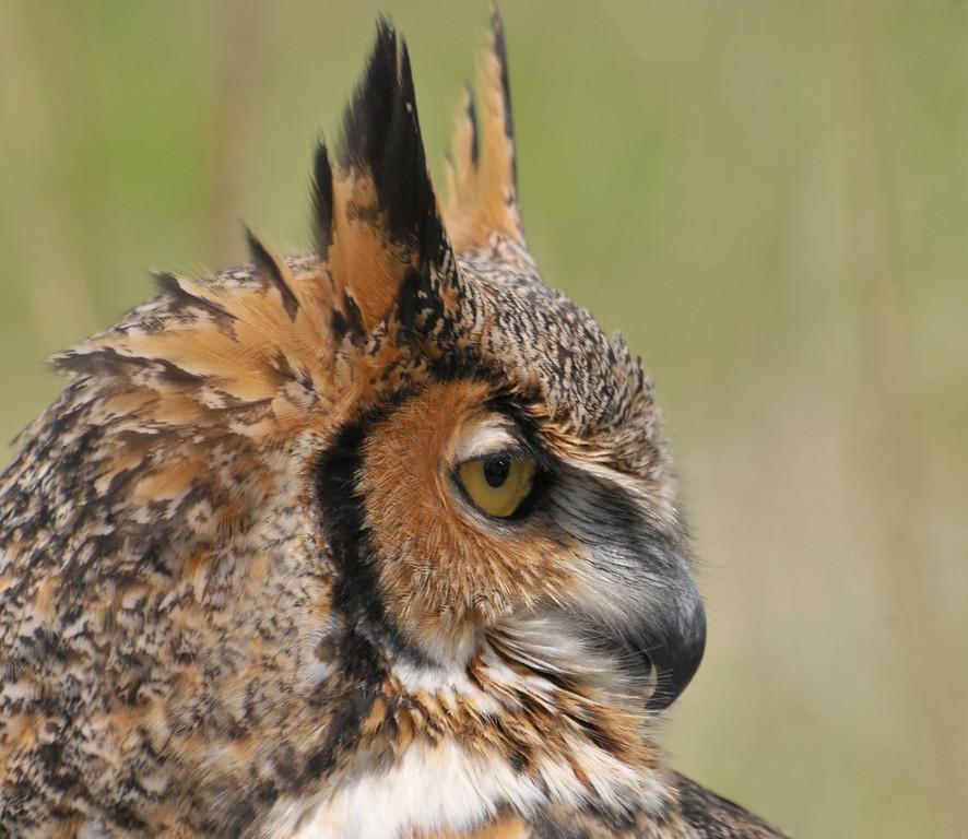 great horned owl,  Leslie St Spit