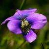 violets spring 2015crop