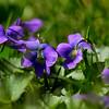 many violets cropwm