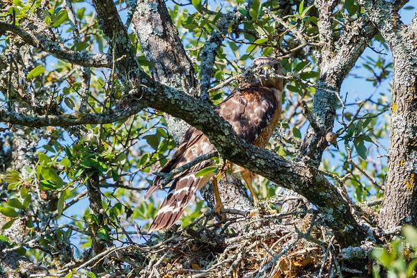 Spring 2015 Hawk Brood
