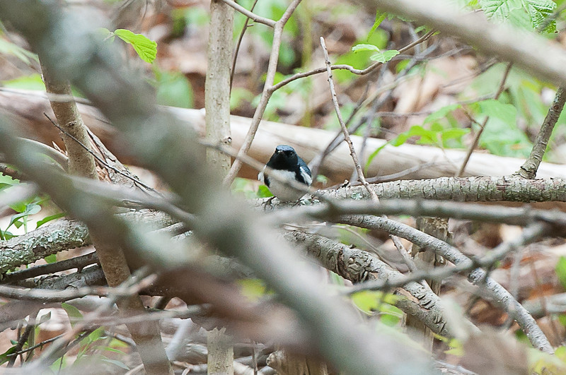 Hike from Skytop, Watchung Reservation - Black-Throated Blue Warbler