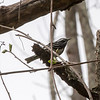 Hike from Skytop, Watchung Reservation - Black and White Warbler