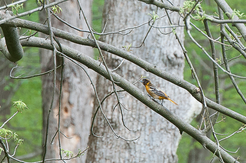Hike from Skytop, Watchung Reservation - Northern Oriole