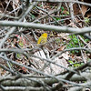 Hike from Skytop, Watchung Reservation - Yellow Warbler