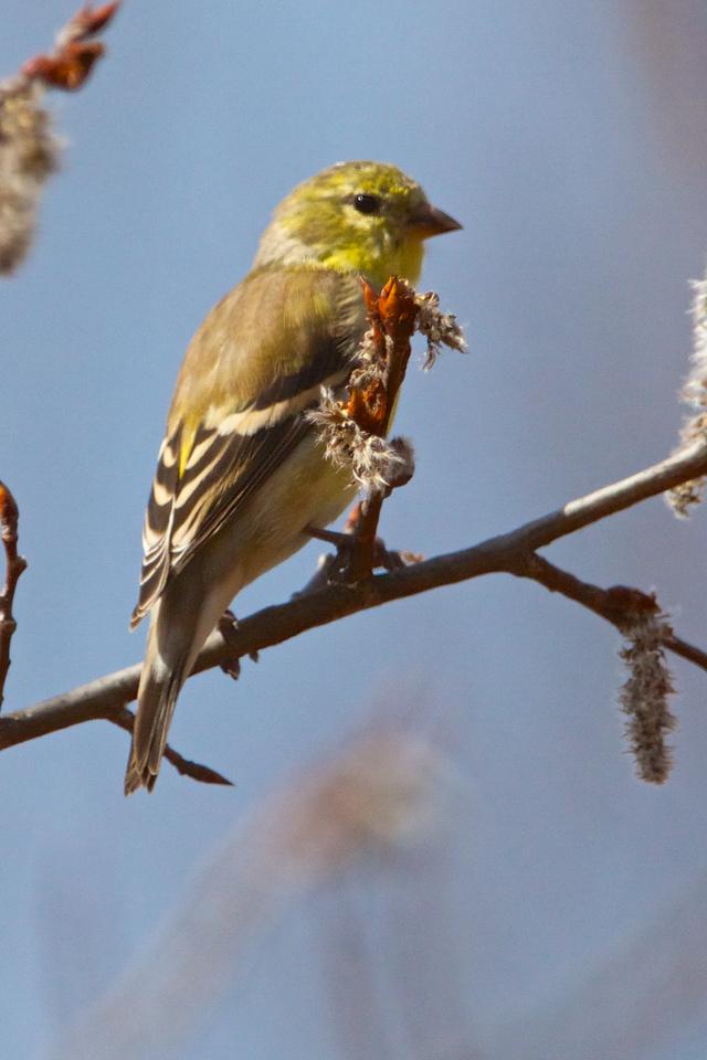 Spring Birds of Toronto