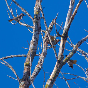 3 Northern Flickers  (Yellow Shafted)