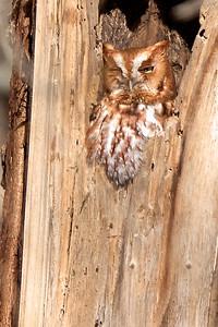Eastern Screech Owl -Red-Morph