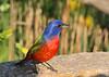 My favorite song bird, Peter B.