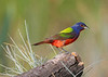 Male Painted Bunting full profile