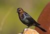 Brown-headed Cowbird, Male