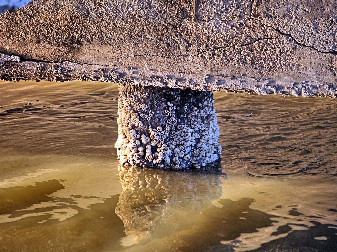 OLYMPUS DIGITAL CAMERA--Barnacles on the bridge support, and a school of mullet on both sides of the concrete piling.