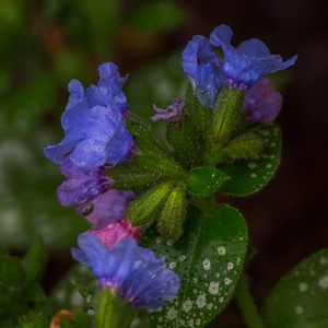 Lungwort blossoms