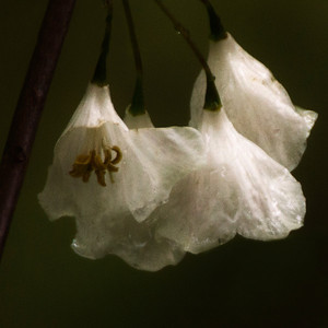 Silver bell blossoms fluffed by rain