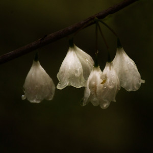 Silver bells in the rain