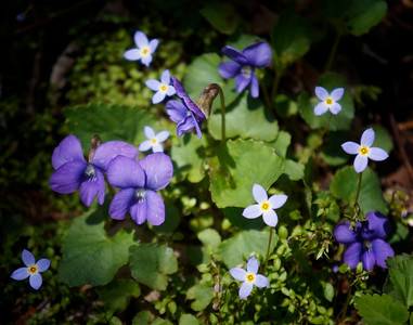 Violets and bluets