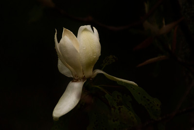 Native mountain magnolia blossom