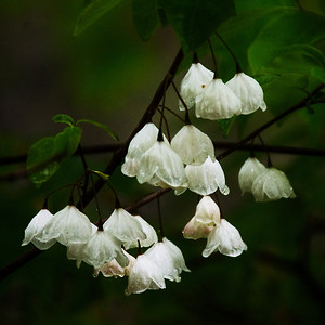 Silver Bell blossoms