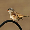 White Crowned Sparrow at my house- Boone COunty Ia May 2008