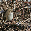 Hermit Thrush at Don Williams Lake Boone County Ia April 2008
