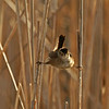 Marsh Wren - Harrier Marsh Boone County Ia May 2008