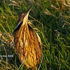 Male AmMerican Bittern in full display at Harrier Marsh Boone County Ia - May 2008