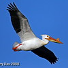 American White Pelican Boone County Ia - April 2008