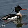 Red Breasted Merganser Little Wall Lake in Iowa April 2008