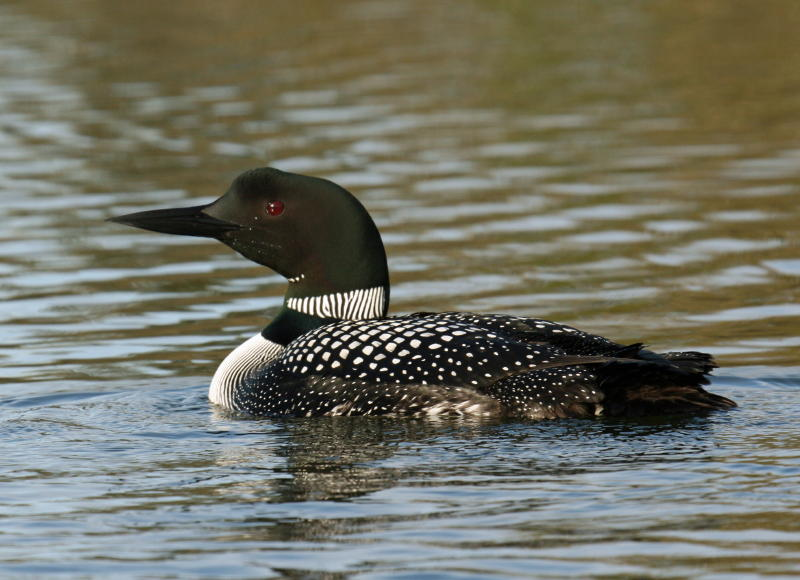 Loon at our cabin- Minong Wi May 2008