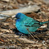 Super colored Indigo Bunting at my feeder- Boone County Ia May 2008
