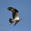 Osprey at Saylorville Lake Polk County Ia - April 2008